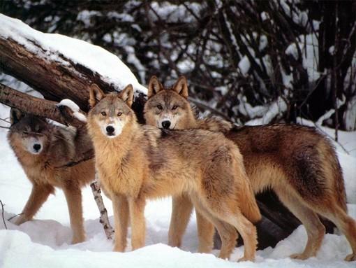 """Monaco (Gruppo Rete Civica) sulla questione lupi: """"Progetto Life WolfAlps si deve ritenere concluso"""""""