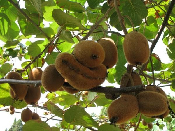 Kiwi produzione ed ettarato in calo colpa della for Kiwi pianta