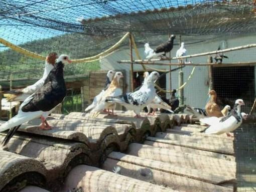 Abbandonati in un prato poco frequentato della Baraggia 16 colombi con ali spuntate. Salvati