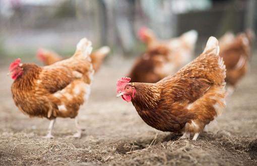 Ladri di galline nelle campagne della Valle Elvo