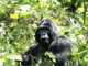 I Bugianen del Cai sulle tracce del gorilla di montagna un Uganda