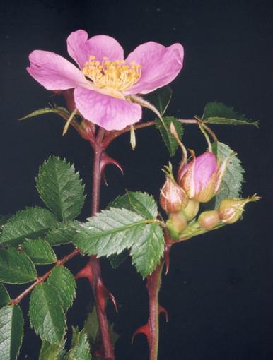 """Rosa seraphinii Viv. Nome italiano: Rosa dei Serafini. Nome sardo: Arrosa, Rosa burda, Ru malciu - Foto di Ninni Carreras """"Fiori di Gallura"""""""