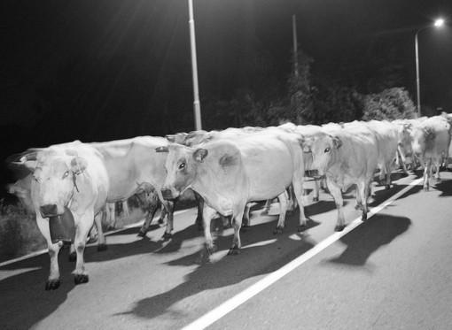 Cossato, pericolo in serata per una mandria di mucche in mezzo alla strada