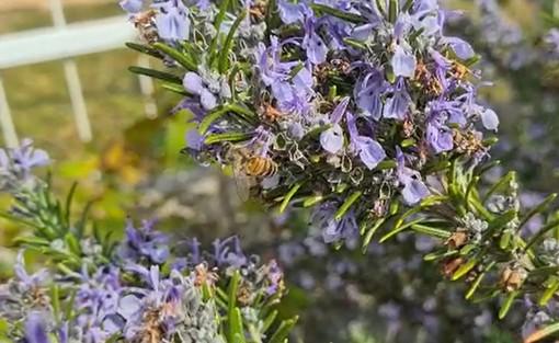 """La bellezza della natura biellese, da un lettore api """"al lavoro"""" sui fiori di rosmarino VIDEO"""