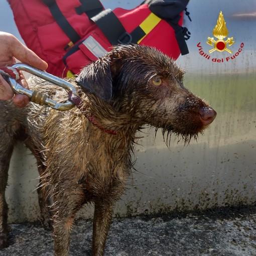 Occhieppo Inf. Le emozionanti immagini del salvataggio di un cucciolo di cane da due giorni in una vasca di liquido FOTO VIDEO