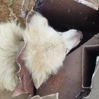 Incastrato con la testa in un camino tra le macerie, cagnolone salvato dai Vigili del Fuoco FOTO e VIDEO