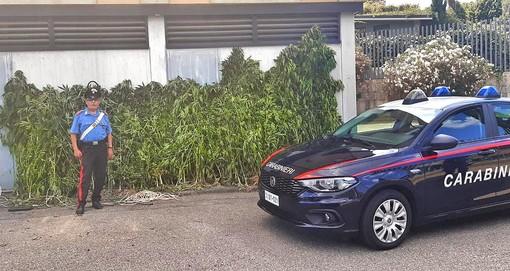Raid dei Carabinieri: due arresti, 166 piantine di marijuana e 1 chilo essiccata sotto sequestro