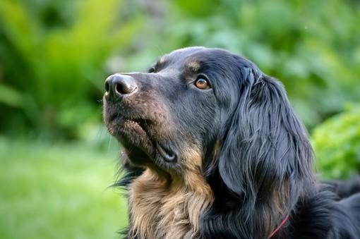 I cani rilevano il Covid-19 con l'olfatto? Si, secondo uno studio finlandese