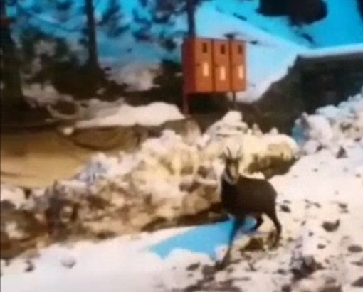 Camosci tra la neve al Piancone di Portula, il video di un nostro lettore