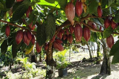 Giornata mondiale dell'ambiente, da Cioccolato TAF le piantine di cacao per sostenere l'agricoltura in Africa