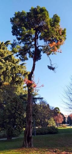 """Nell'immagine, il ginepro secolare presente ai Giardini """"Zumaglini"""" di Biella."""