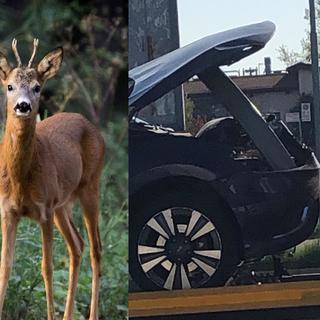 Animale selvatico investito questa notte a Sagliano