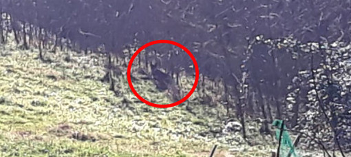 Pecora sbranata a Camburzano, avvistato un presunto esemplare di lupo FOTO