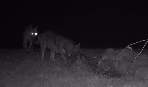 lupo dellarovere