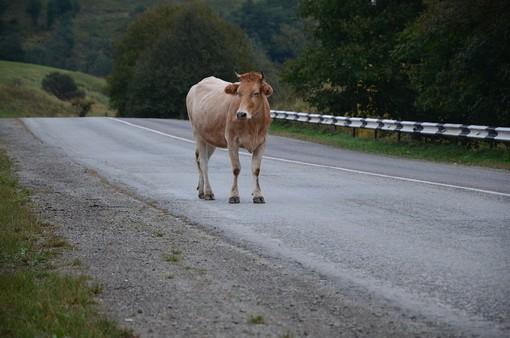 mucca mezzo strada