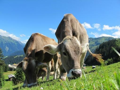 Pietre e bastoni contro le mucche al pascolo, identificati quattro ragazzini