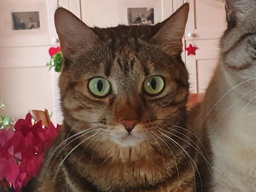 Appello per Margot, bellissima gatta scomparsa da Piatto