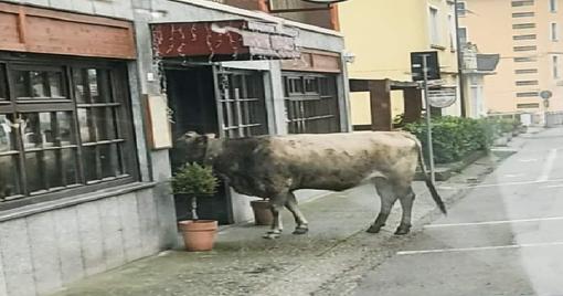 mucca viverone