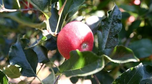 Il Meleto di Cascina Imperolo: La mela Biellese di Davide Pichetto