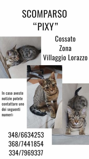 Il gattino Pixy è scomparso da Cossato zona Villaggio Lorazzo