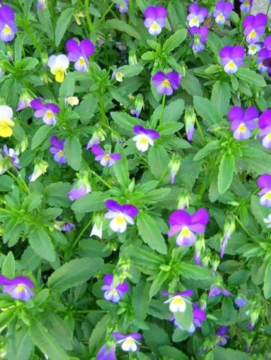 Nome scientifico:  Viola tricolor L. Nome italiano: Viola del pensiero, Viola tricolore. Nome sardo: Fiore biaittu, Iacèa, Panseu