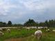 pecore rotonda