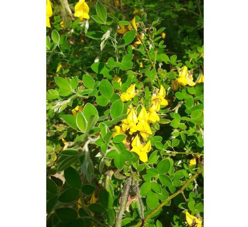 Cytisus villosus. Nome italiano: ginestra, lerca, citiso trifloro. Nome sardo: Matzigusa, martigusa, Chorramusa