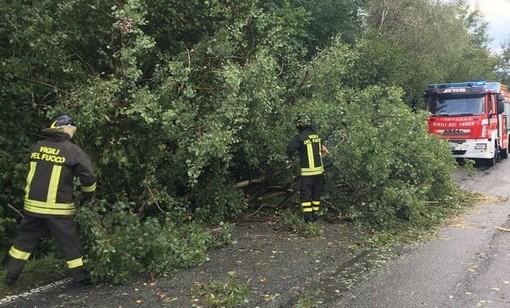 Biella: Pianta pericolante caduta, strada cimitero della Colma chiusa al traffico